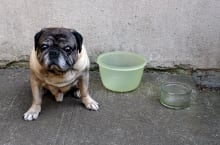 Pug and Tupperware