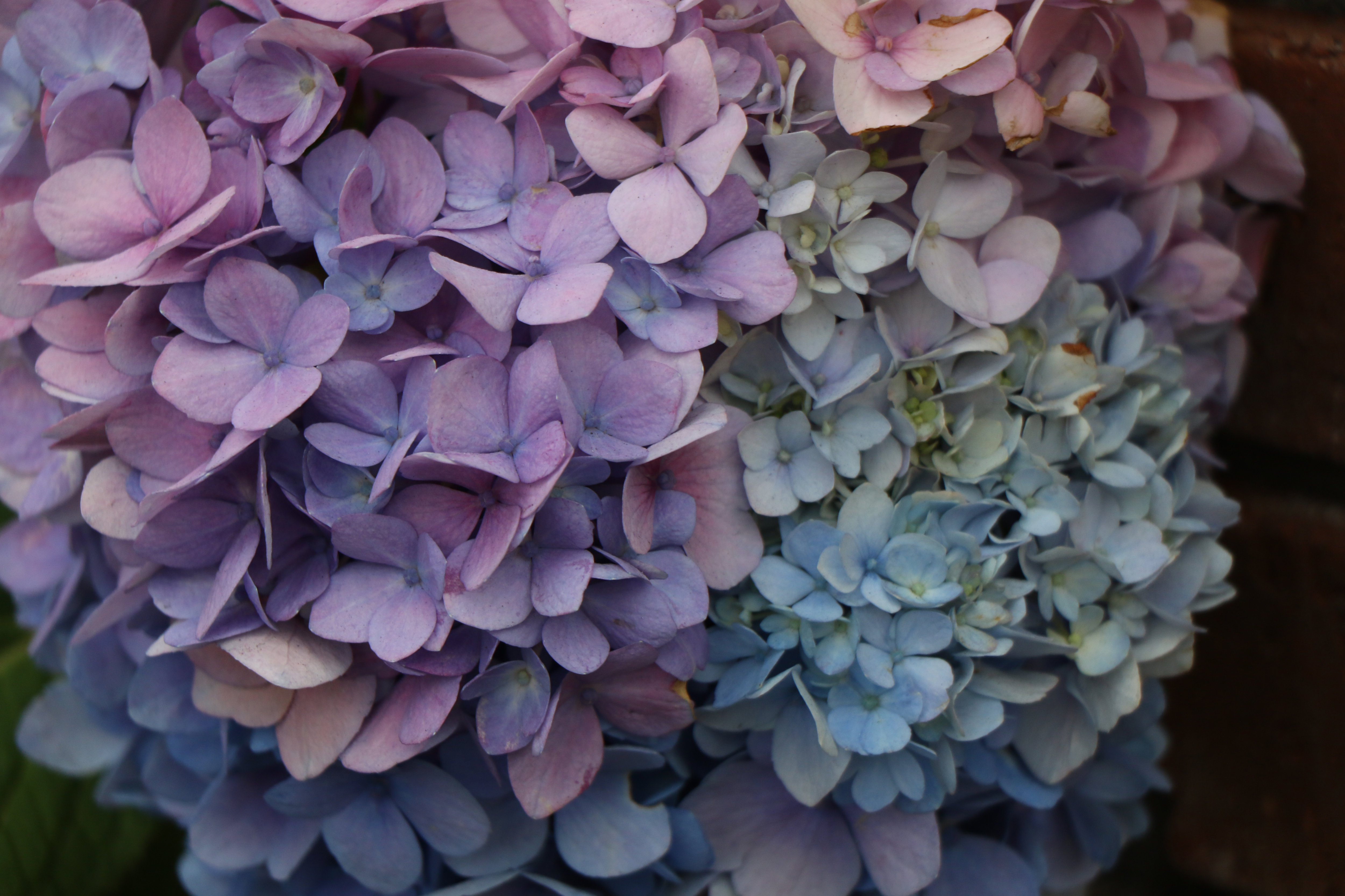A sample photo of hydrangea taken by the Canon EOS 7D Mark II.