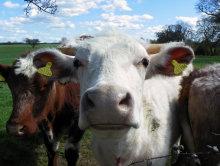 Close Cow