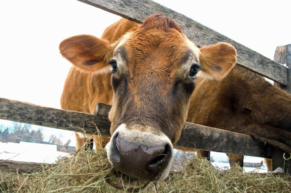 Cow Eating