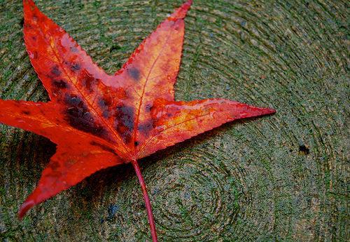 red-leaf-justycinmd.jpg