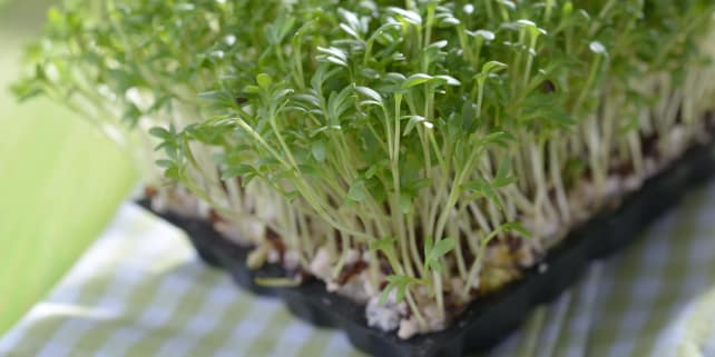 Microgreens Growing in Kitchen