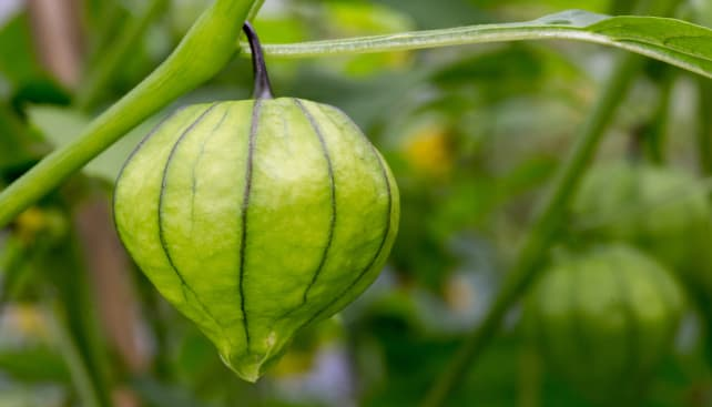 Young Tomatillo